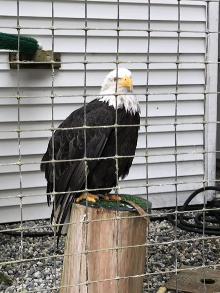 Bald Eagle at the Alaska Raptor Center 2018