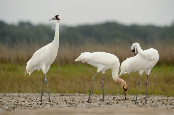 Whooping cranes at Aransas NWR A whooping crane (Grus americana) family in their wintering grounds at Aransas National Wildlife Refuge in Texas. (Klaus Nigge/USFWS)