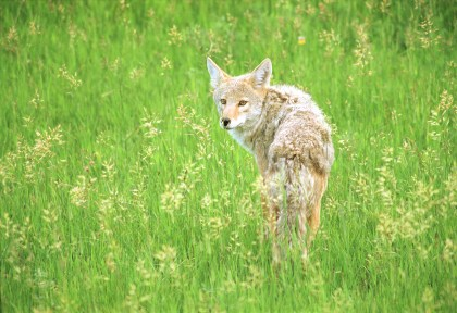 Coyote at Rocky Mountain National ParkPhoto © Justin W. Moore