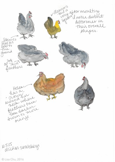 Chicken observations 12.5.15
