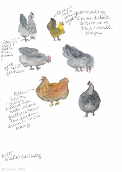 Chicken observations 12.5.15