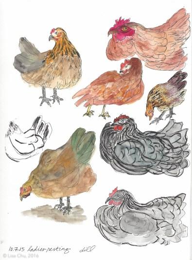 Chicken studies