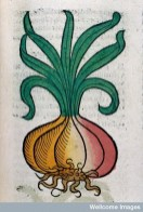 L0029214 An onion, woodcut, 1547 Credit: Wellcome Library, London. Wellcome Images images@wellcome.ac.uk http://wellcomeimages.org An onion Coloured Woodcut 1491 Ortus sanitatis Arnaldus de Villanova, Published: 1491 Copyrighted work available under Creative Commons Attribution only licence CC BY 4.0 http://creativecommons.org/licenses/by/4.0/