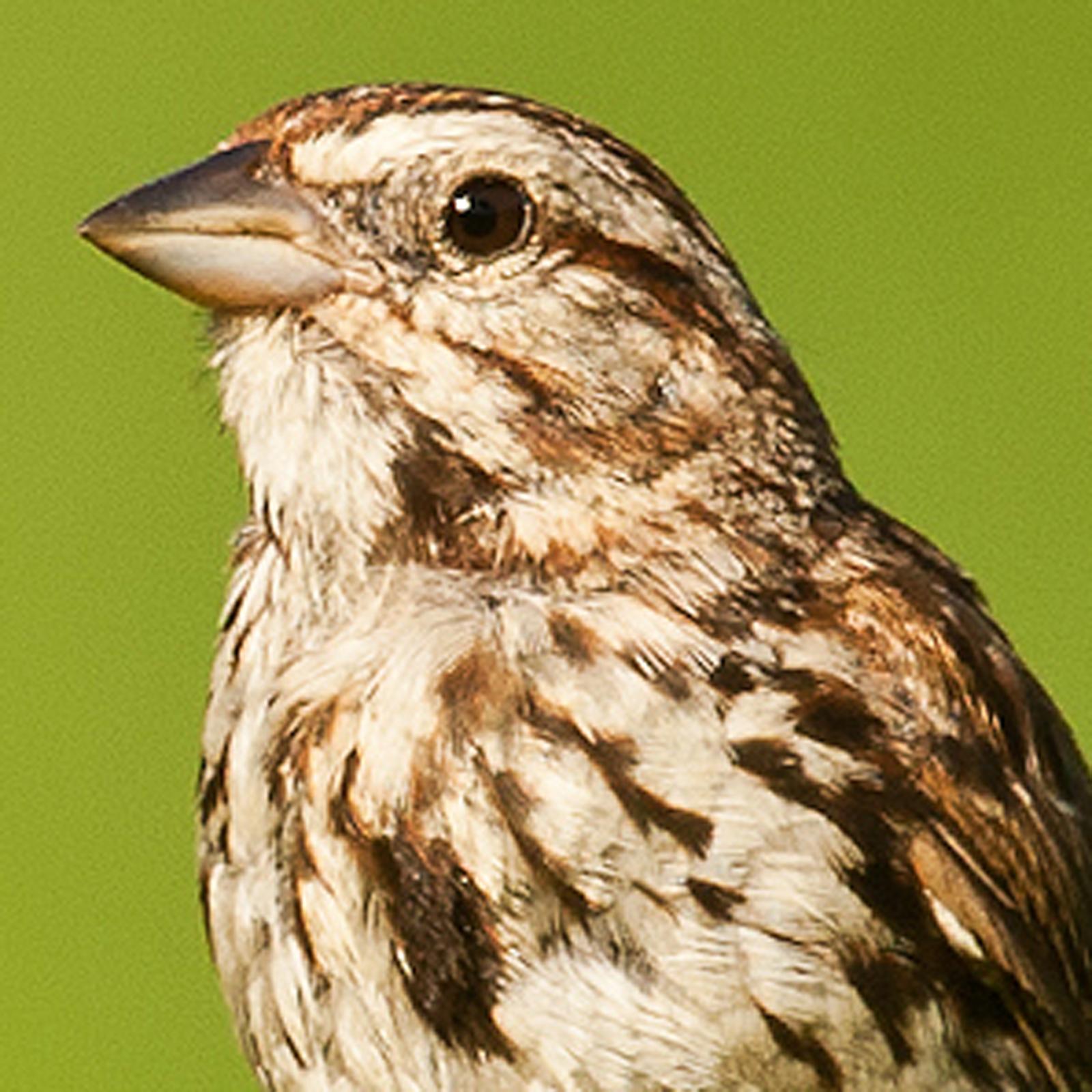 Song Sparrow Bird Call and Song  Wildtones