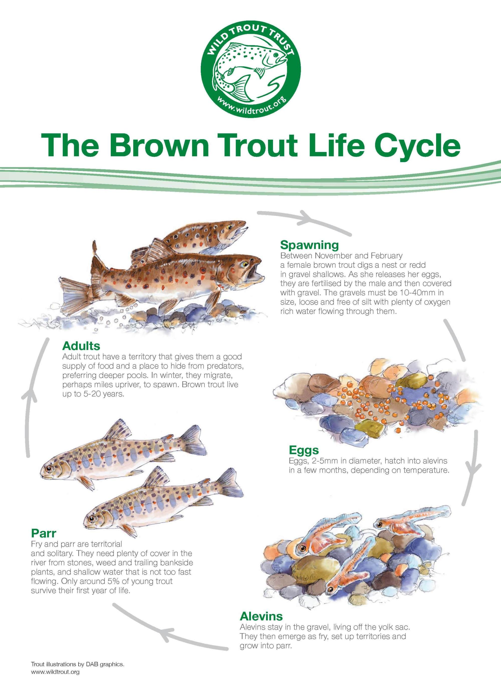 hight resolution of trout lifecycle