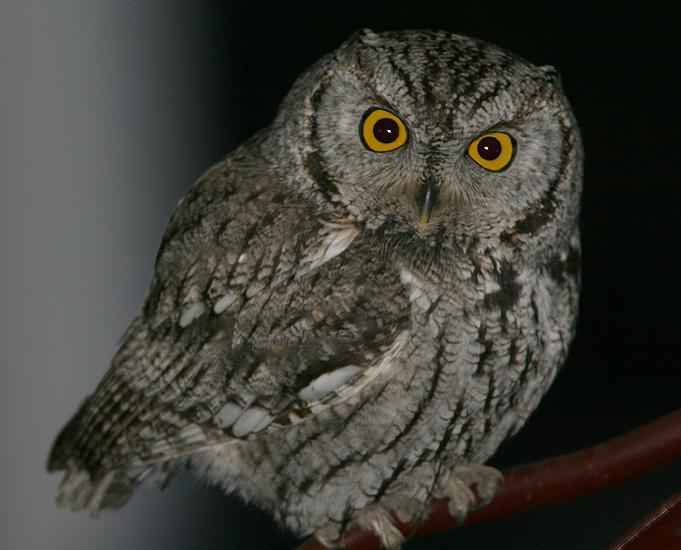 Photos of birds of Utah Western Screech Owl 1 In the