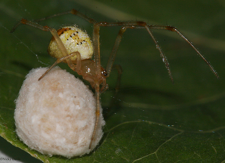 Photos of Utah Spiders unknown spiderguarding her ball of