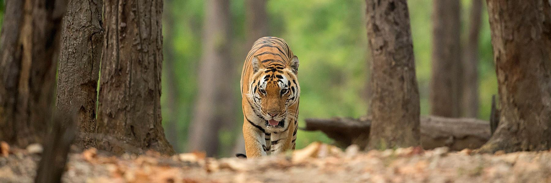 Spotting the elusive Tiger in India