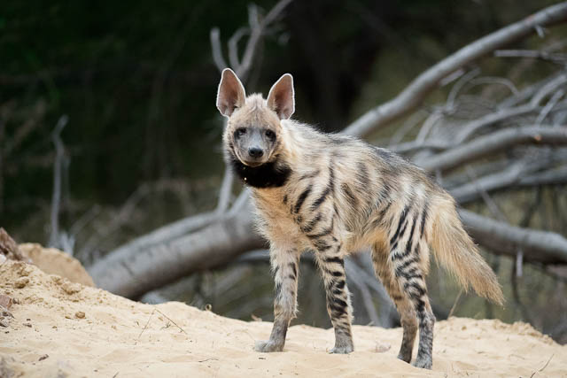 Striped Hyena in India with 300mm lens
