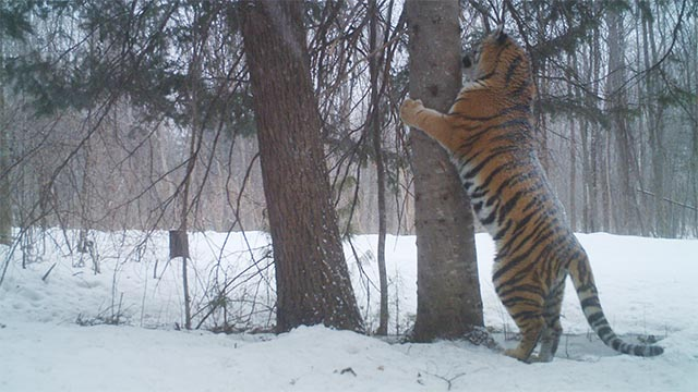Camera trap of Siberian Tiger