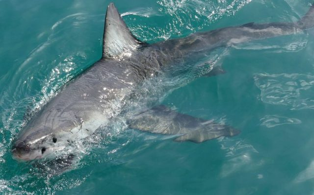 A shark spotted in Gansbaai