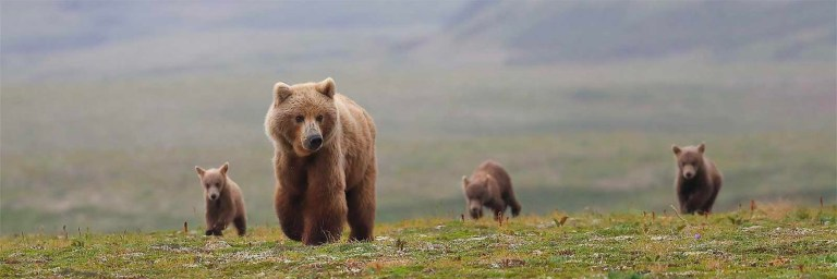 How to see brown bears