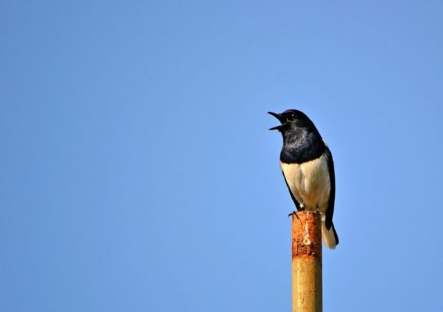 A magpie robin spotted in the town of Mawanella, Sri Lanka