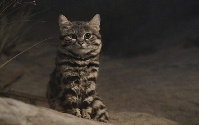 The little Black-footed cat