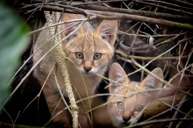 A pair of jungle cat kittens in the wilderness