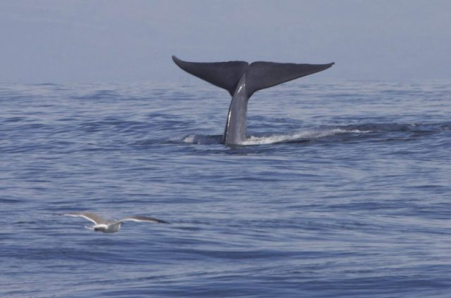 A blue whale swims through the waters of California