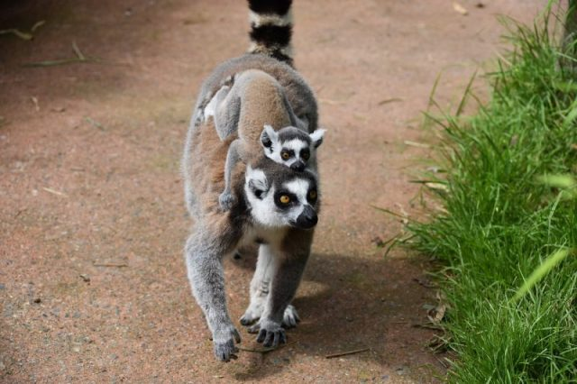A ring-tailed lemur with a pup