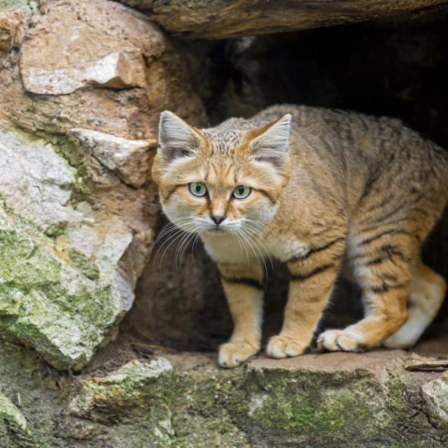 A sand cat comes out of its burrow