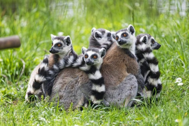 A troop of ring-tailed lemurs