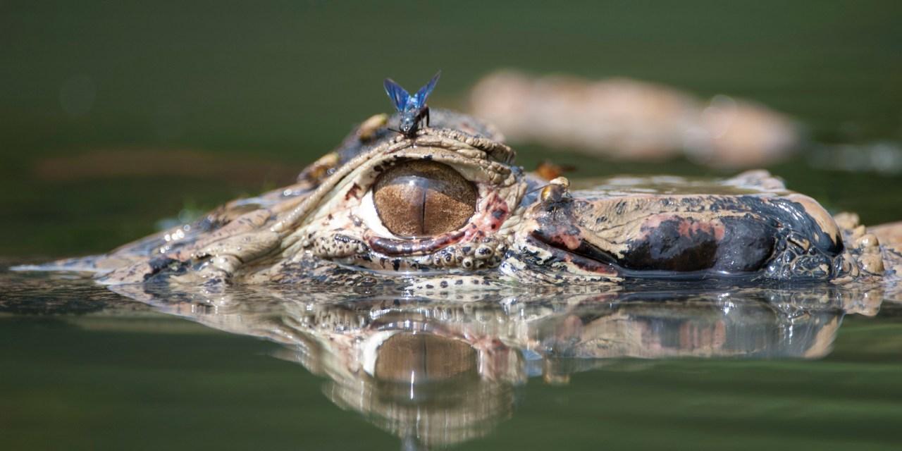 https://i0.wp.com/www.wildwatchperu.com/wp-content/uploads/2018/09/Black-caiman-in-Manu-Park-lakes1-1.jpg?resize=1280%2C640&ssl=1