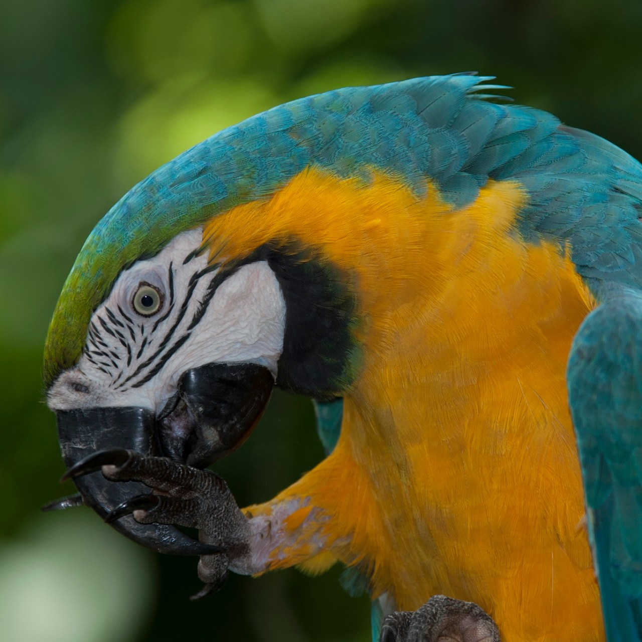 manu birding tour - blue and yellow macaw