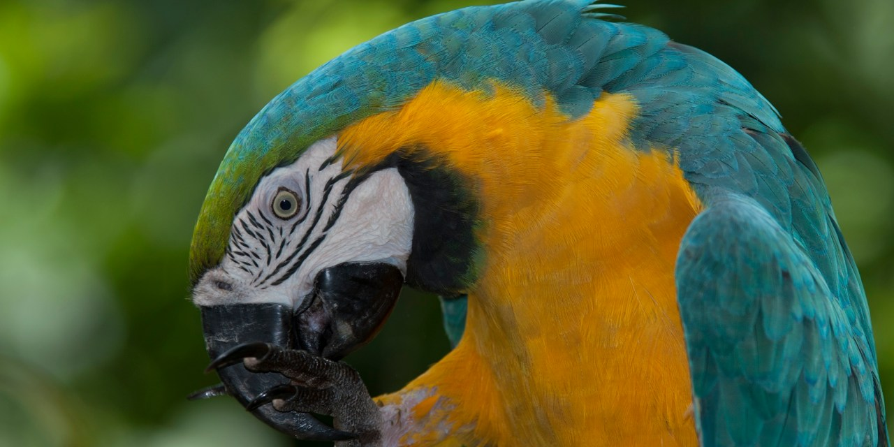 https://i0.wp.com/www.wildwatchperu.com/wp-content/uploads/2018/09/Blue-and-yellow-macaws.jpg?resize=1280%2C640&ssl=1