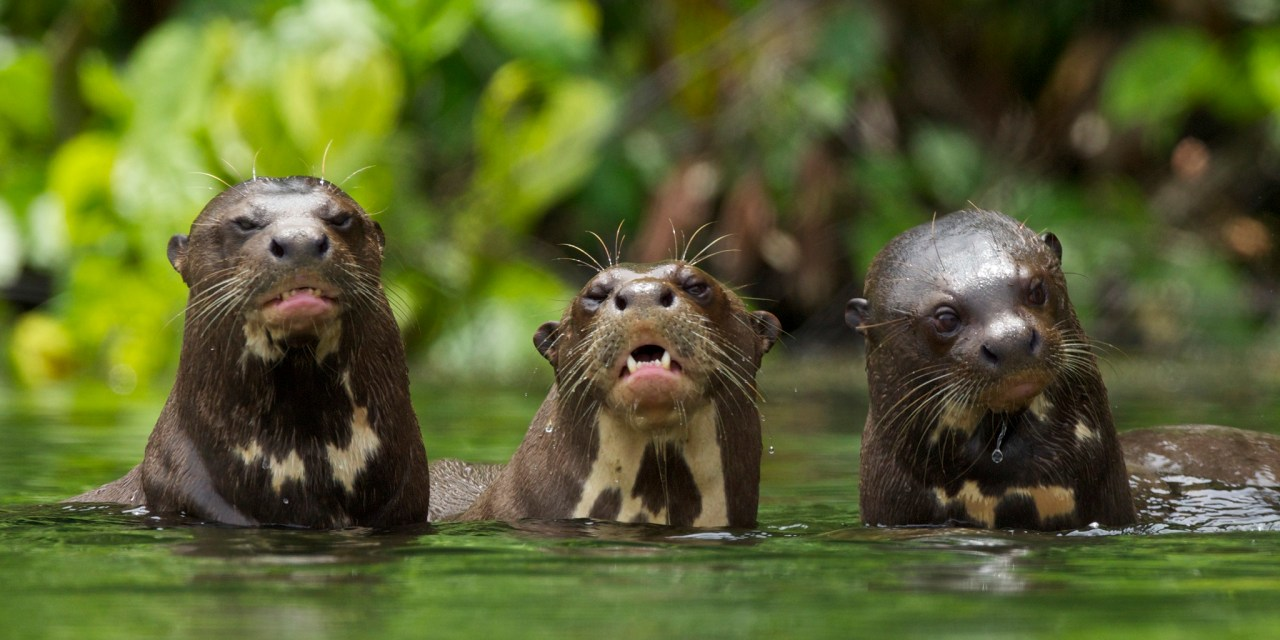 https://i0.wp.com/www.wildwatchperu.com/wp-content/uploads/2018/09/Giant-River-Otter-Salvador-Lake-Manu-park-1.jpg?resize=1280%2C640&ssl=1