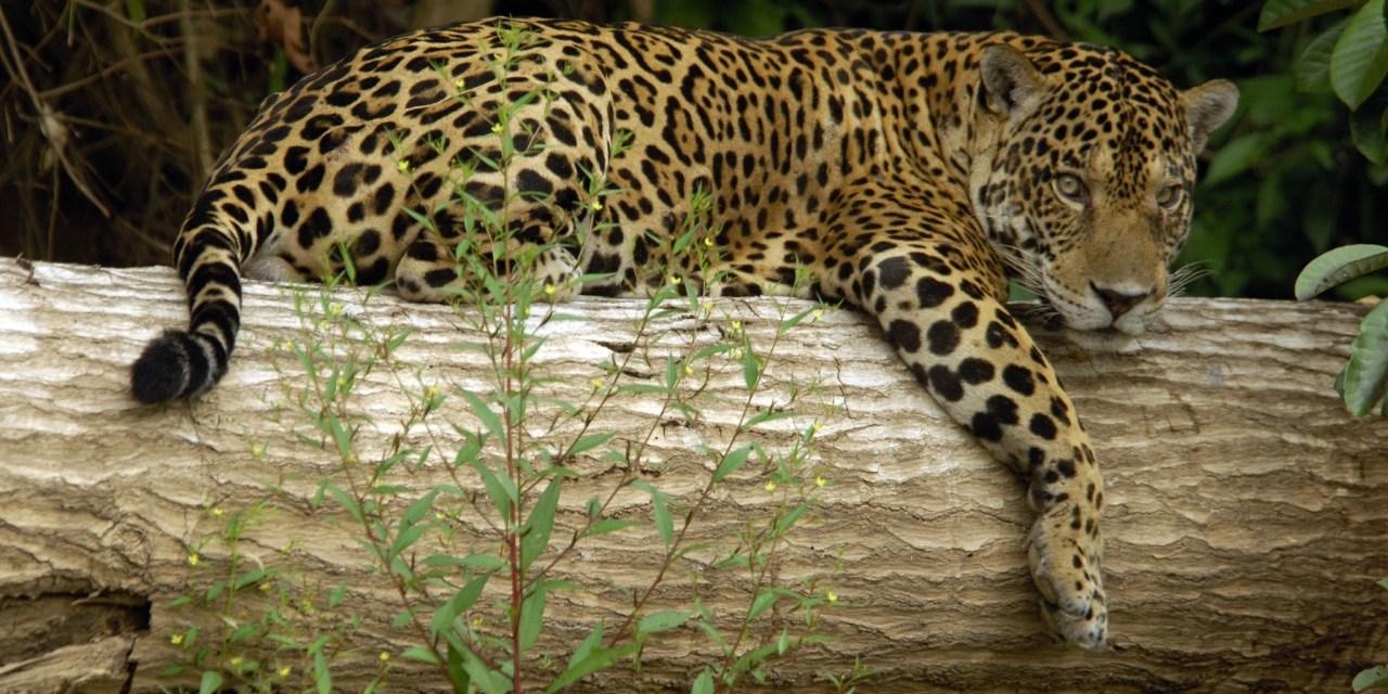https://i0.wp.com/www.wildwatchperu.com/wp-content/uploads/2018/09/Jaguar-at-Manu-National-Park.jpg?resize=1280%2C640&ssl=1