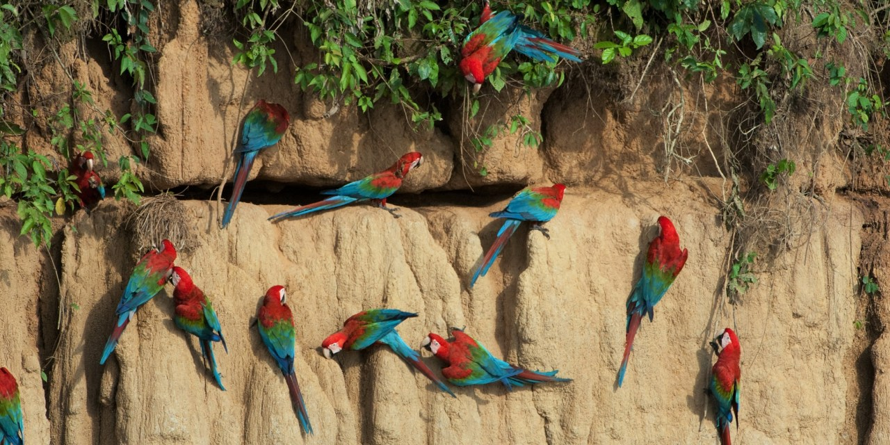 https://i0.wp.com/www.wildwatchperu.com/wp-content/uploads/2018/09/Macaws-at-blanquillo-clay-lick-manu.jpg?resize=1280%2C640&ssl=1