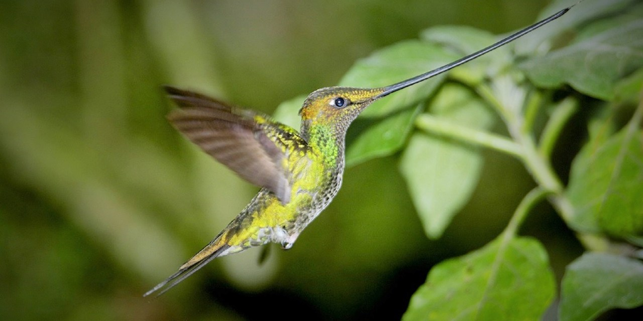 https://i0.wp.com/www.wildwatchperu.com/wp-content/uploads/2018/09/Sword-billed-Hummingbird-in-Manu.jpg?resize=1280%2C640&ssl=1
