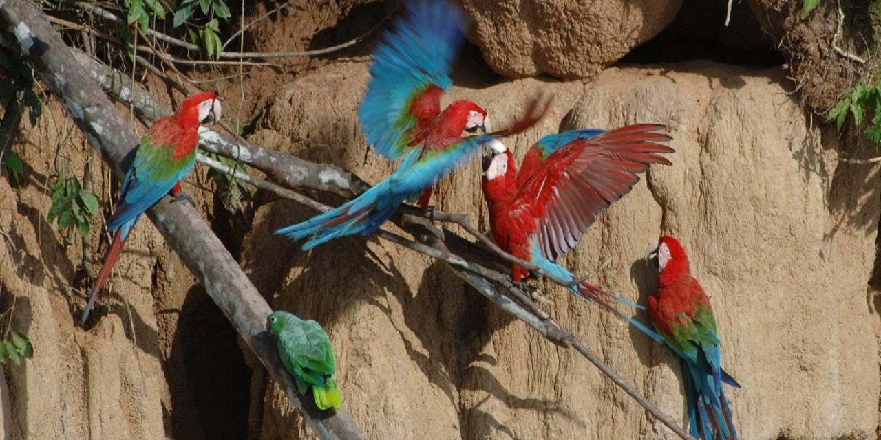 https://i0.wp.com/www.wildwatchperu.com/wp-content/uploads/2018/09/large-macaws-eating-clay-lick-in-Manu.jpg?resize=1280%2C640&ssl=1