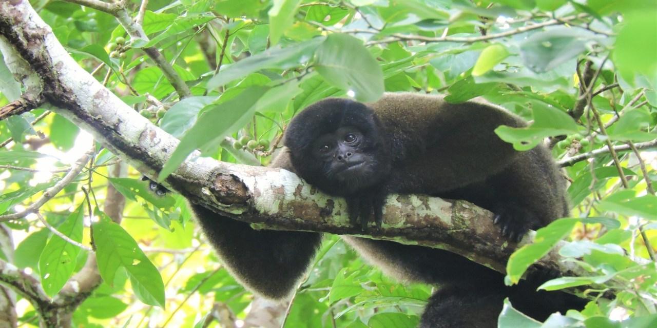 https://i0.wp.com/www.wildwatchperu.com/wp-content/uploads/2019/05/Woolly-Monkey-in-Manu2.jpg?resize=1280%2C640&ssl=1
