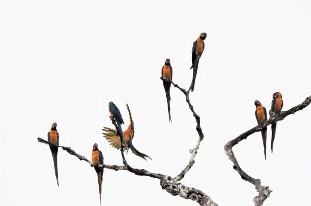 macaws at manu rainforest lodge