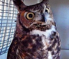 Archie the Owl
