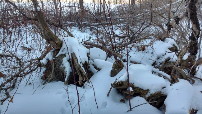 snowy den with tracks leading up to it