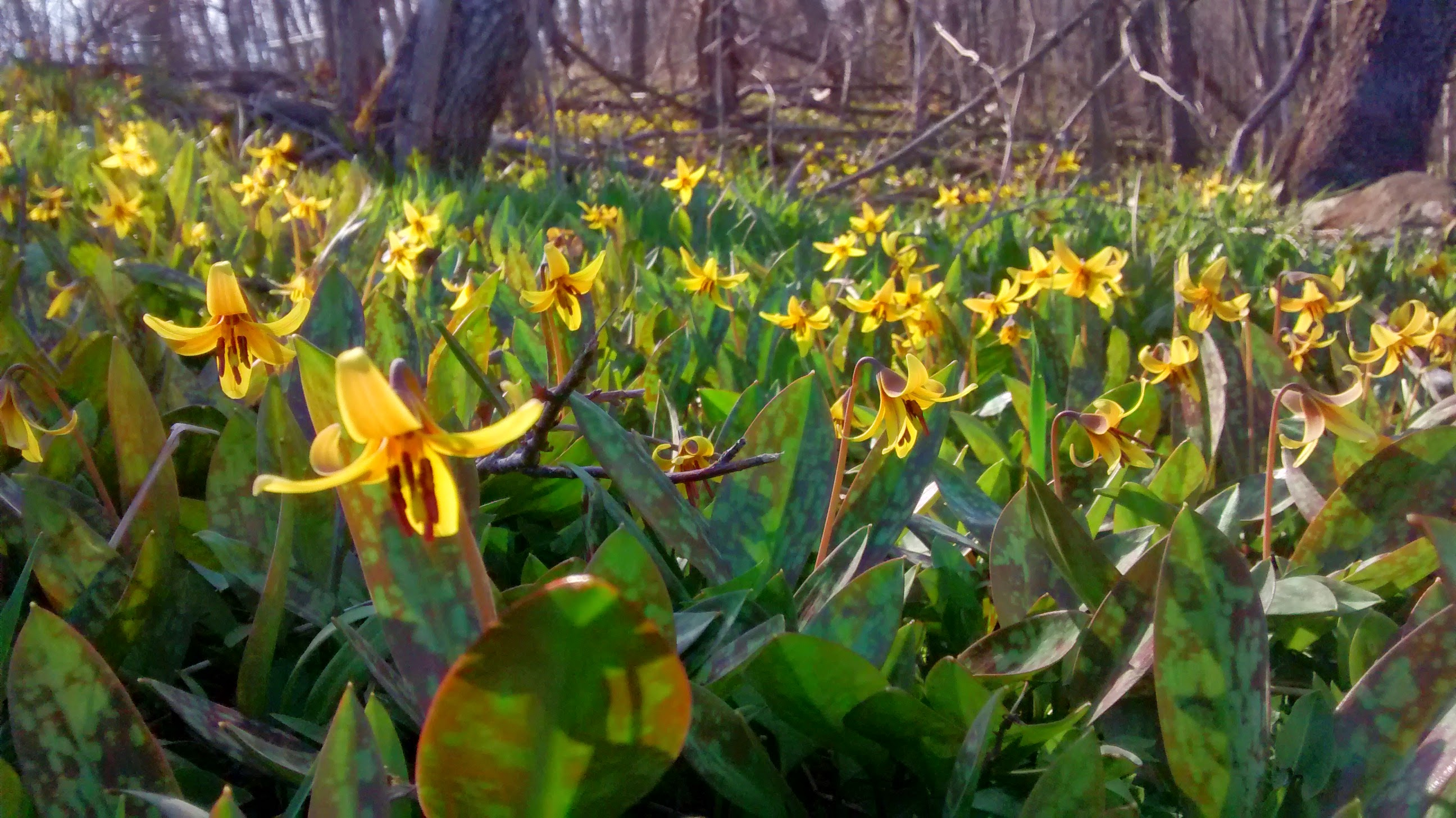 Trout Lily Day!