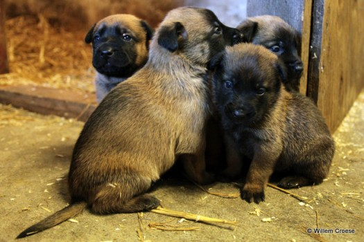 Puppy's - Willem Croese