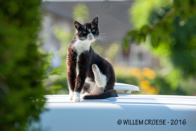 Buurkat - Willem Croese
