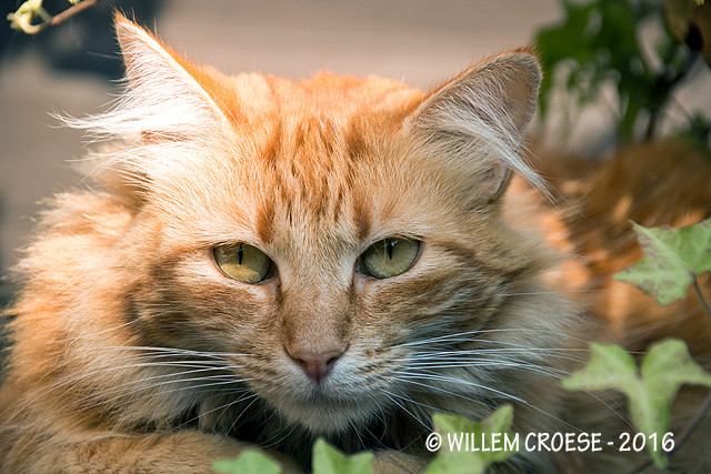 Kat - Willem Croese