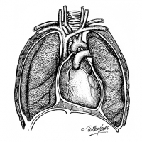 Illustration of human lungs and heart structure