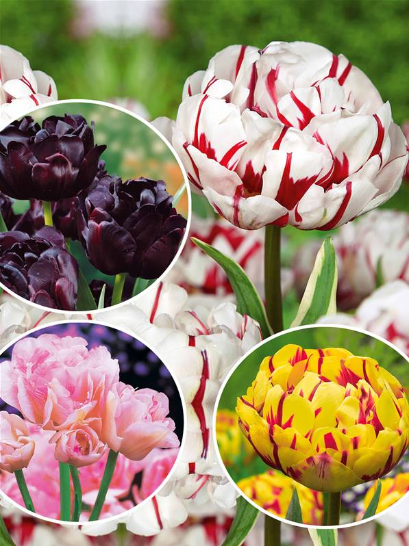 Collection de 24 Tulipes  fleurs de pivoine  planter  Bulbe Fleur