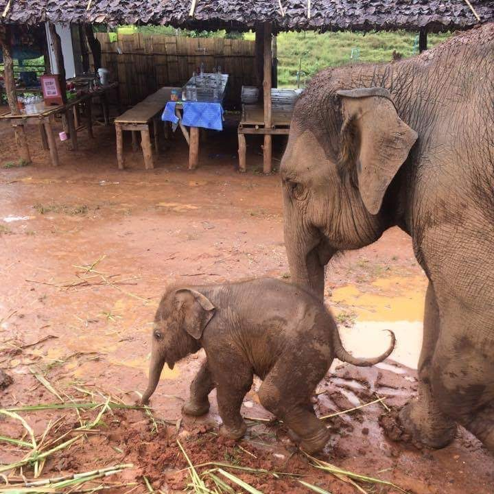 baby elephant and mummy