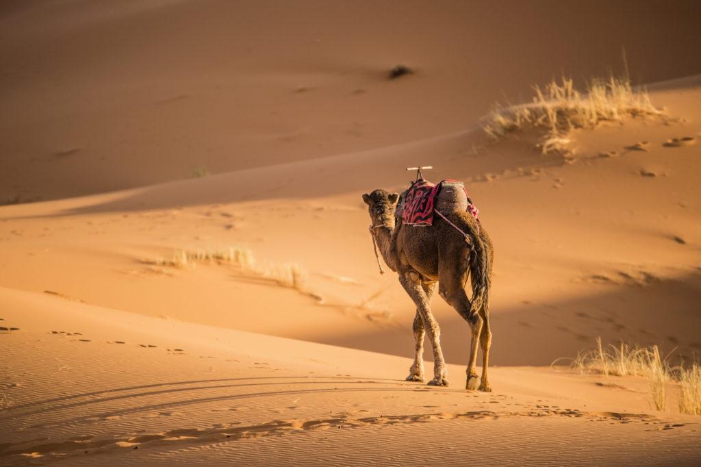 Camel walking on the dunes of the Sahara Desert at sunset in Merzouga - Morocco