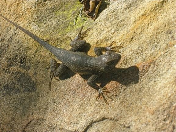 Ojai Lizard