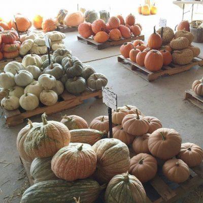 College Run Farm pumpkins-2