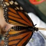 Annual Butterfly Festival in Williamsburg Botanical Garden - Aug 3rd & 4th - details:
