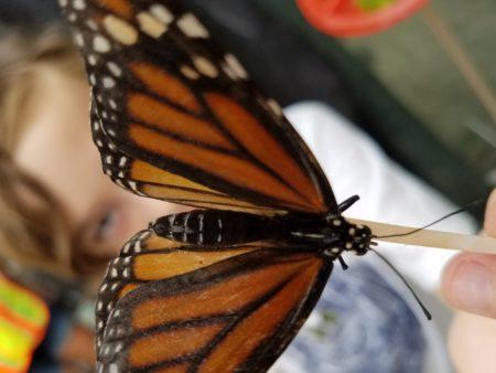 butterfly festival williamsburg botanical gardens