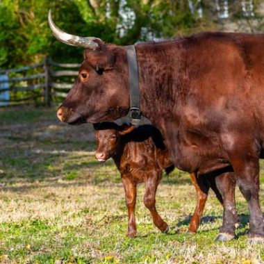 oxen-at-colonial-williamsburg