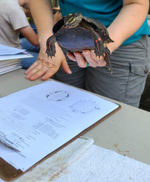 turtle census event virginia