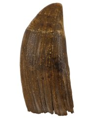 Lot 13D: Sperm Whale's Tooth